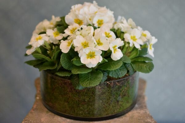 Photo showing a sample of a Container of Seasonal Plants - primroses en masse at Kensington flowers