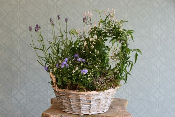 Container of Seasonal Plants Jasmine, lavender, campanula