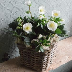Photo showing a small of Christmas rose planted basket