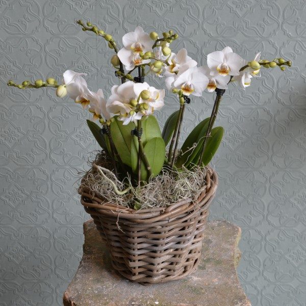 Mini Orchids in a Basket