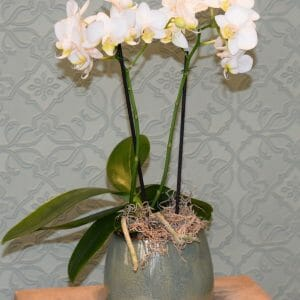 Photo of a white single Mini orchid plants in a green ceramic pot available to order from Kensington flowers