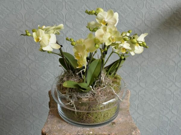 Photo showing 3 green Mini Orchid plants in a Glass Bowl available to order from Kensington flowers