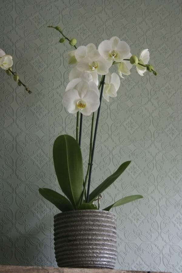 Single Orchid in a Pot