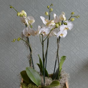 Orchids in a Wine Box