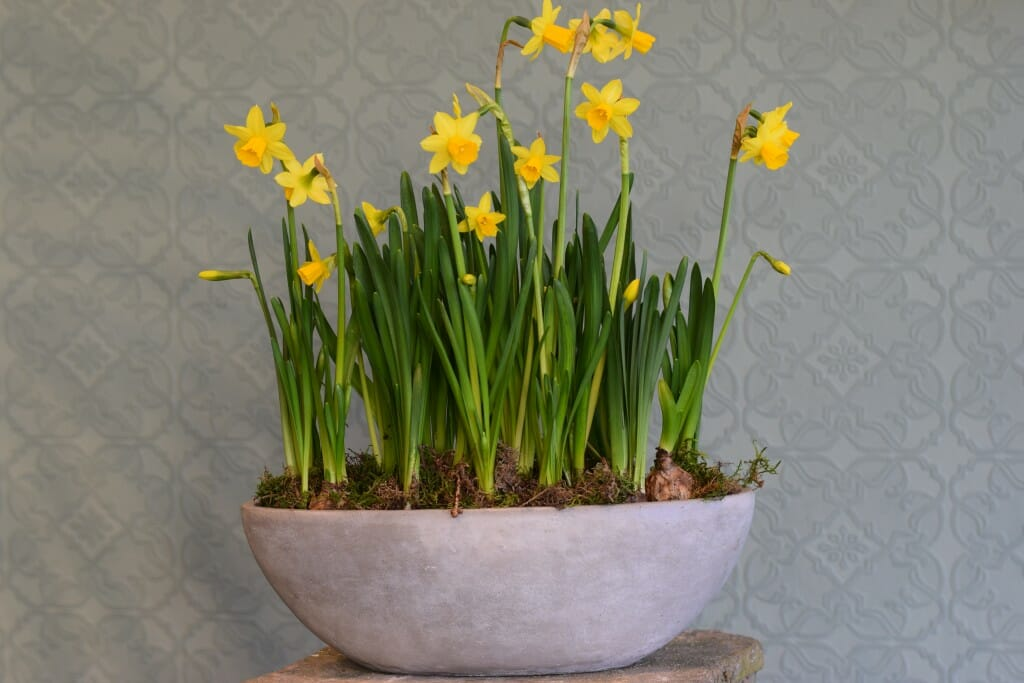 Container of Seasonal Plants - Narcissi tete a tete Kensington flowers