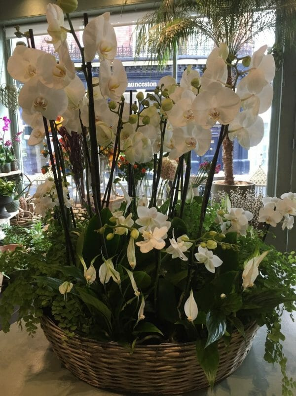 Planted basket of orchids and mixed ferns and plants, available to order from Kensington flowers, London