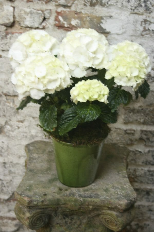 Sample photo of a single Seasonal Plant in Pot - Hydrangea
