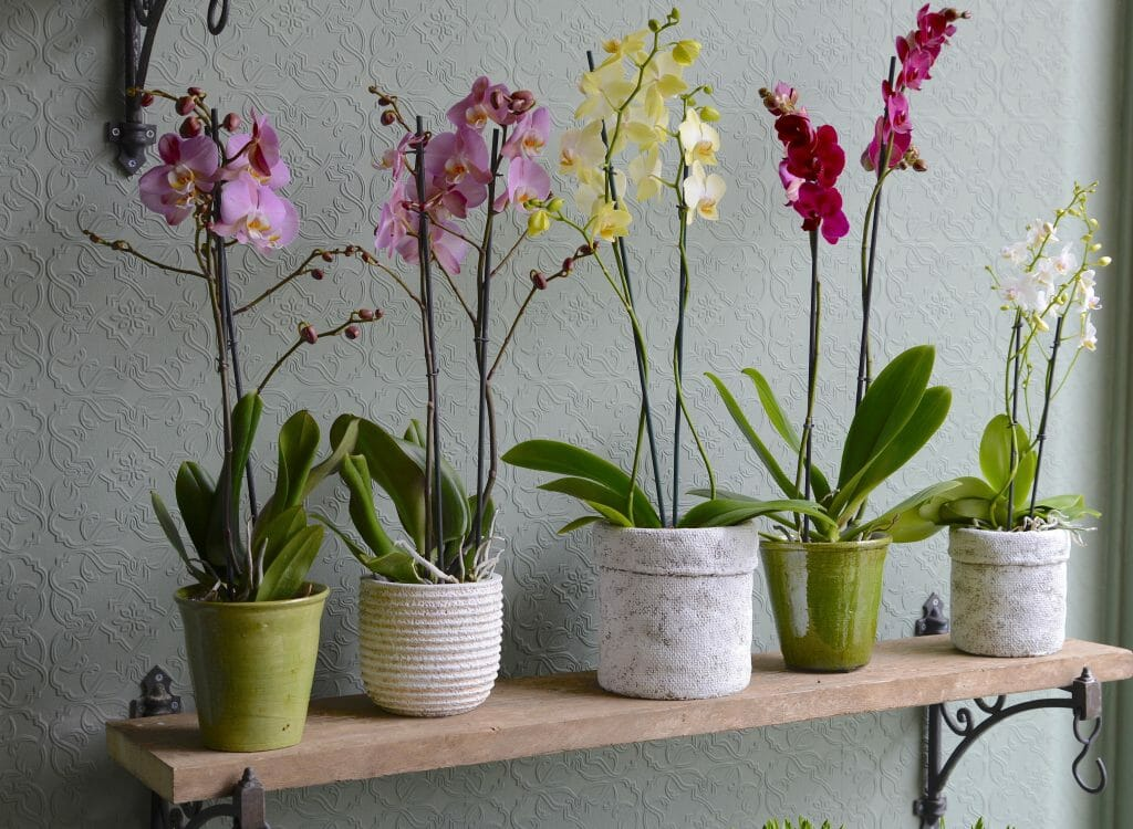 Orchid Plants Kensington Flowers