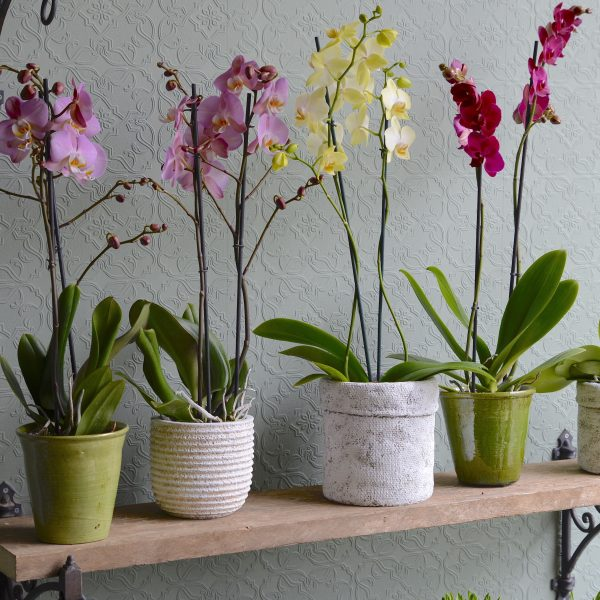 Single-orchid-plants-in-container