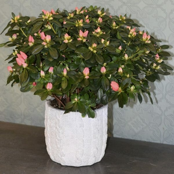 Photo showing a sample of a Single Seasonal Plant in Container, Azalea Kensington flowers, London