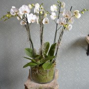White Orchids in a Glass Bowl