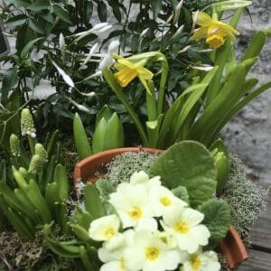 Photo showing a sample of a Spring planted basket, including yellow primroses, mascari and narcissi Kensington flowers
