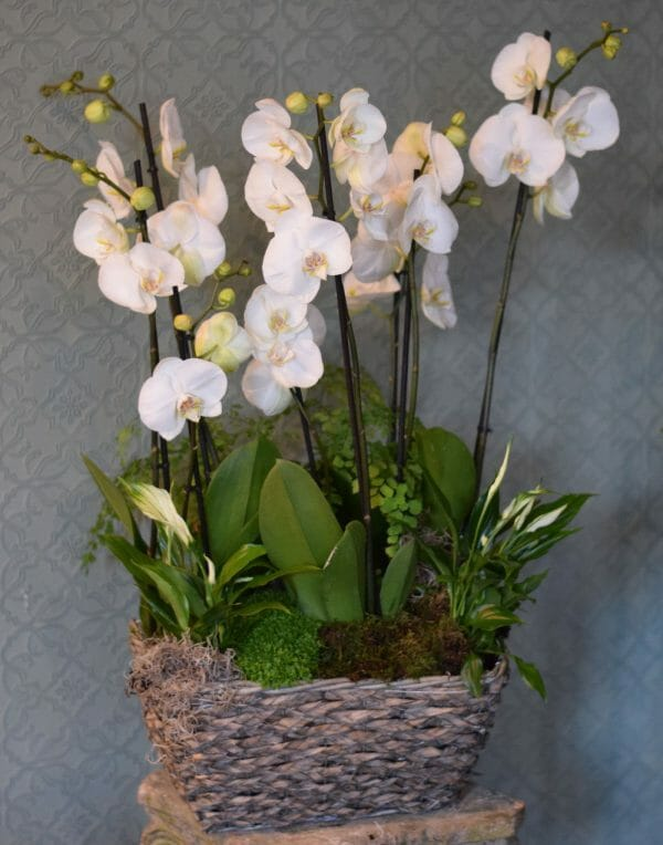 Photo showing a medium White orchid basket, with mixed complimentary plants available to order from Kensington Flowers