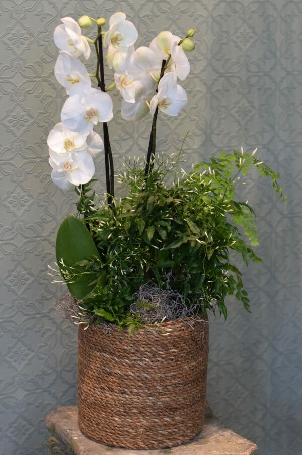 Photo showing a small White orchid basket, with mixed complimentary plants available to order from Kensington Flowers