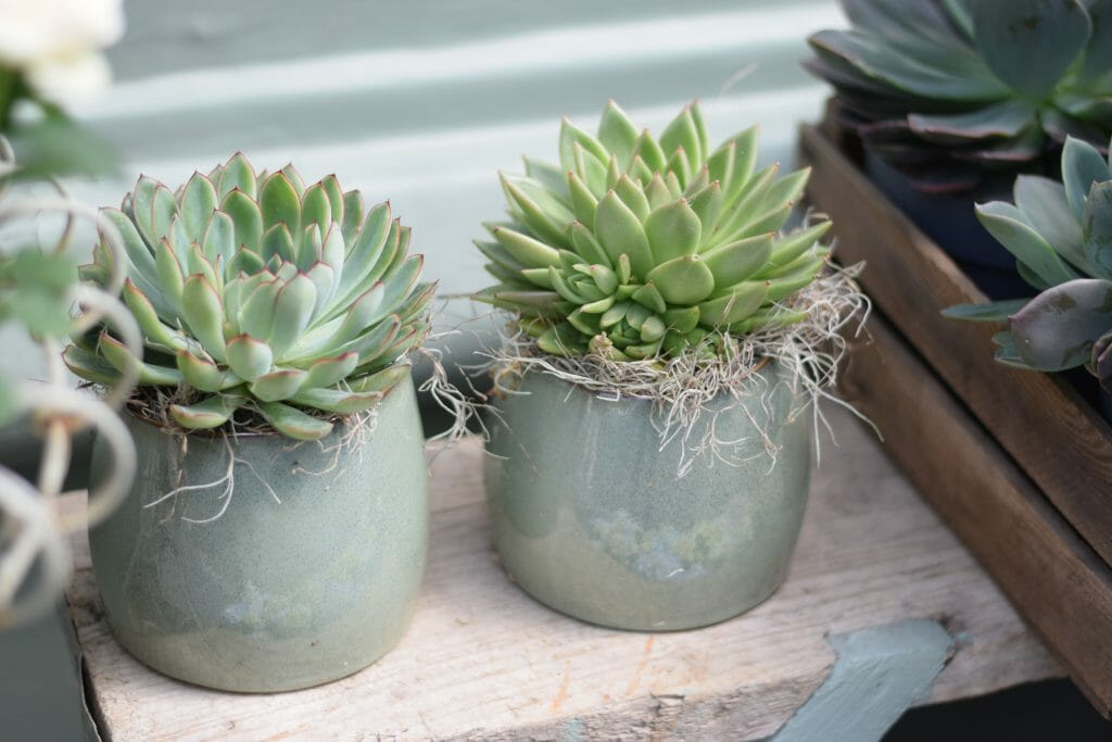 succulents potted plants pots pot cactus houseplant kensington flowers florist london