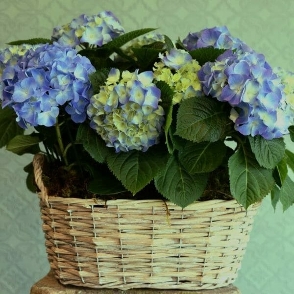Photo showing a sample of a Container of Seasonal Plants blue hydrangea