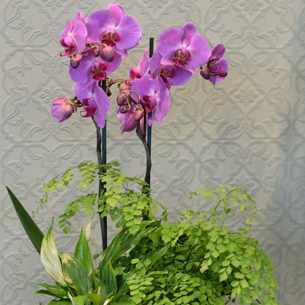 Photo showing a small coloured orchid basket, with mixed complimentary plants available to order from Kensington Flowers