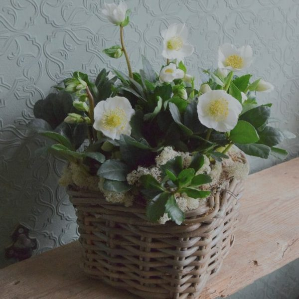 Photo showing a sample Container of Seasonal Plants, Helebore Christmas rose, available from Kensington flowers London