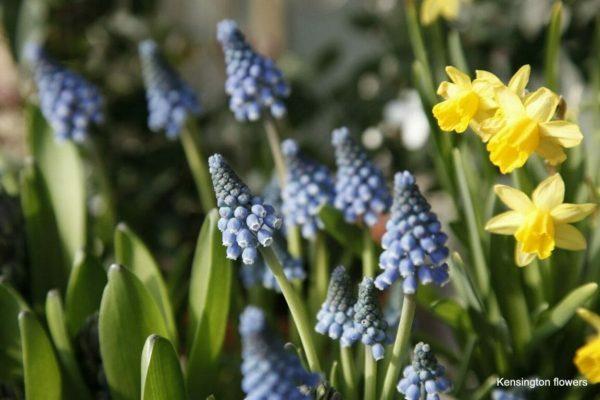 mascari and narcissi spring plants