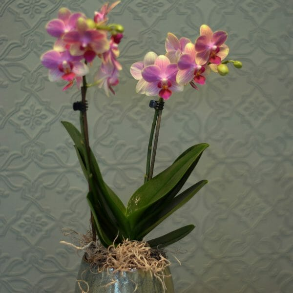 Photo of a single pink colour Mini orchid Plant in a green ceramic pot available from Kensington flowers