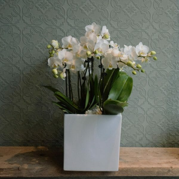 Photo showing a sample of a container of mini white orchid plants, available to order from K