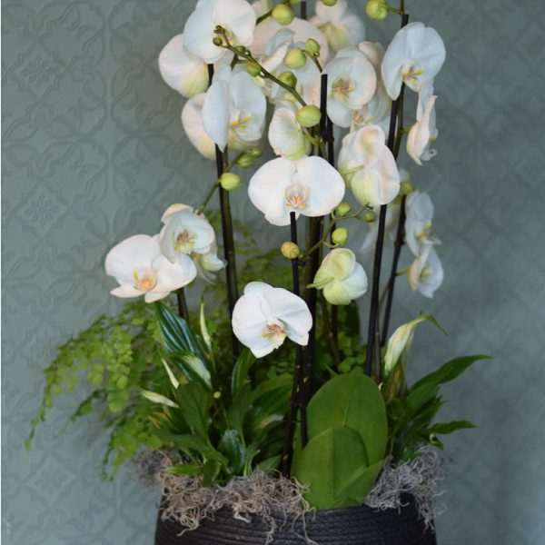 Photo showing a White orchid basket, with mixed complimentary plants available to order from Kensington Flowers