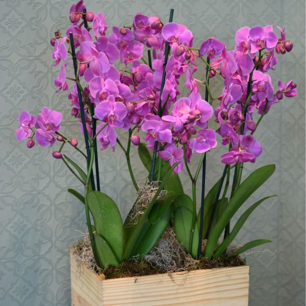 Photo of a wine box filled with pink Orchid plants available to buy at Kensington flowers