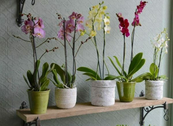 Photo showing a selection of single orchid plants in containers lined on a shelf Kensington flowers