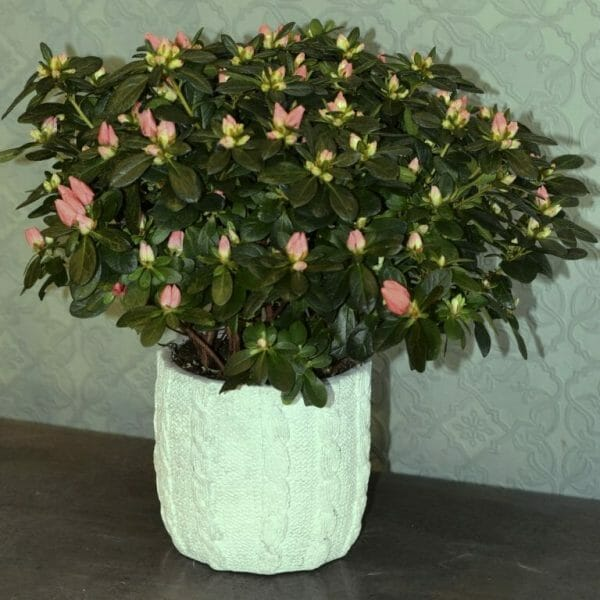 Photo showing a sample of a Single Seasonal Plant in Container, Azalea Kensington flowers, London