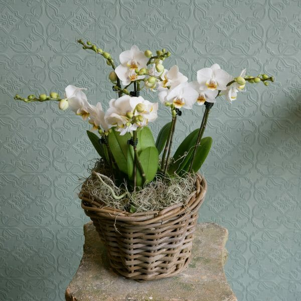 Photo showing a sample of a basket of mini white orchid plants available to order from K
