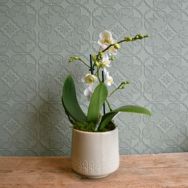 Photo showing a sample of a single white min i orchid in a pot available to order from K