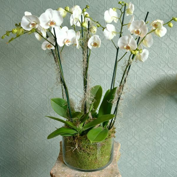 Photo showing a Container of 3 white double stem, Phalaenopsis orchid plants from Kensington flowers