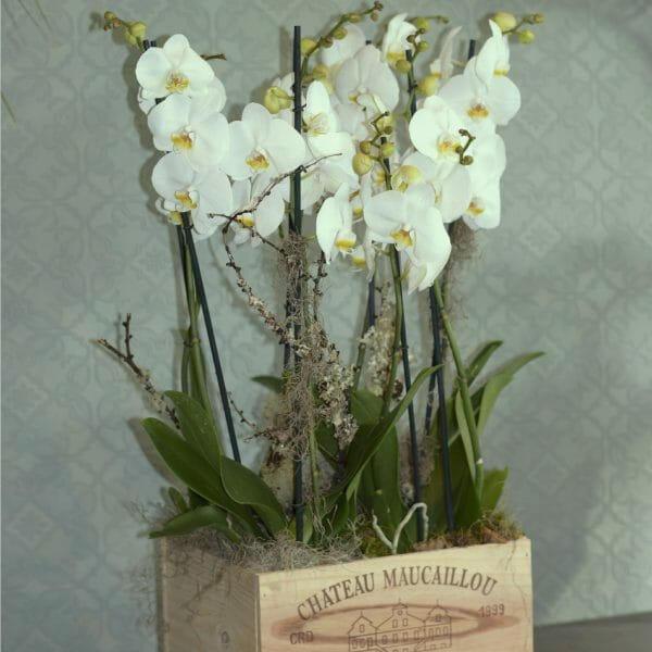 Photo of 4 double stem White orchid plants in a wooden wine box available from Kensington flowers