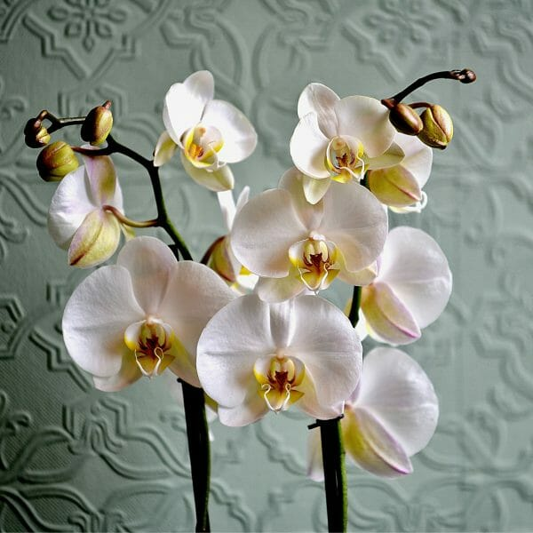 Photo showing a sample of a white Orchid Planted basket, Kensington flowers, London