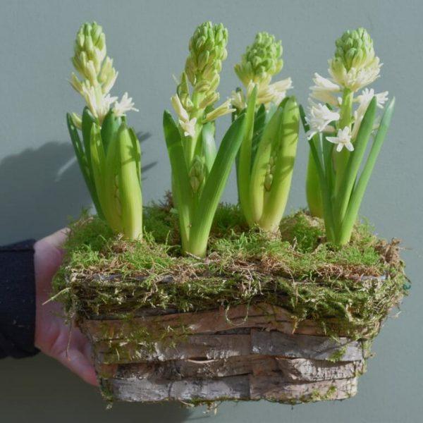 Photo showing a sample of a planted hyacinth basket available at Kensington flowers London