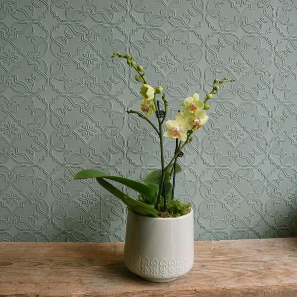 Photo showing a sample of a single green coloured mini orchid plant in a container, available to order from K
